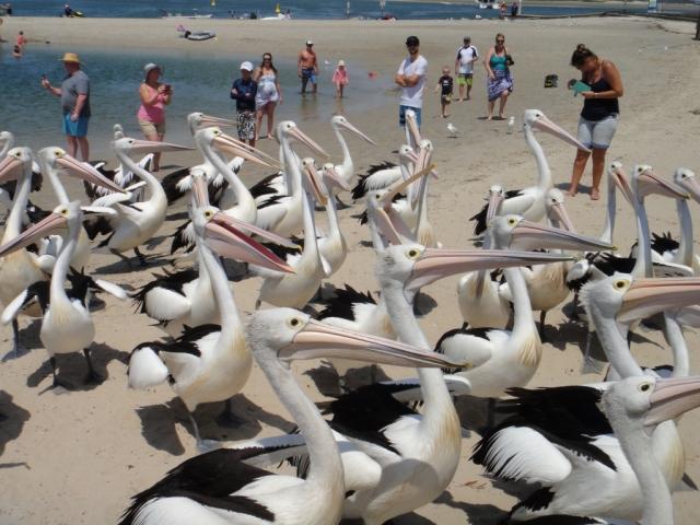 20160121-Australia-Gold Coast-Pelican Feeding-8